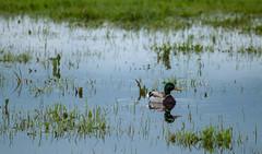 duck in rainpond (Cait Sumfin) Tags: wild bird field grass rain duck pond colorado afterstorm float