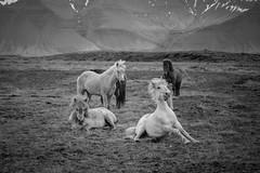 Icelandic Horses - Snæfellsnes Peninsula (virtualwayfarer) Tags: snæfellsnes snæfellsnespeninsula snaefellsnes nationalpark iceland icelandic fjord visiticeland roadtrip soloroadtrip solotravel nordic westiceland westerniceland þjóðgarðurinnsnæfellsjökull snæfellsjökull ringroad drivingiceland landscape nature beautifullandscape beautifulnature raw wild travelphotography travelphotographer inspiration canon canon6d julesverne viking horse horsie horses icelandichorses mane europe outdoor beautiful natural herdoficelandichorses mammals awkward comical funny graceful cliff cliffs mountain mountains crude rough jagged untamed alexberger worldtraveler
