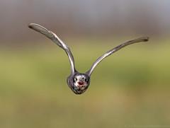 Black Tern (Nick Saunders) Tags: canada bird nature birds animal fly flying wings birding marsh saskatchewan molt tern wetland birdwatcher blacktern tamron150600mm