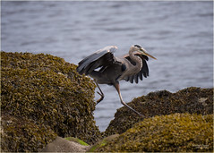 long legged leap (marneejill) Tags: blue seaweed beach heron creek french long legs action great rocky leaping