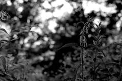 Ghosts are everywhere (Leica M6) (stefankamert) Tags: stefankamert ghosts leica m6 rangefinder 35mm analog film ilford fp4 voigtlnder nokton bw sw noir noiretblanc monochrome plant light bokeh dof abstract blackandwhite blackwhite schwarzweis epson scan negative v550