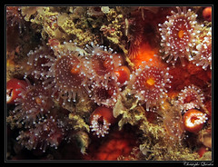 Anmones perle (Corynactis viridis) (cquintin) Tags: viridis cnidaria corynactis hexacorallia corallimorpharia corallimorphidae