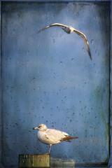 When Gulls Cry (Chris C. Crowley) Tags: sky seagulls texture rain birds animals flying florida gulls flight feathers raindrops whengullscry