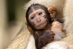Baby Berberaffe - Barbary ape baby (Klaus1953) Tags: baby nature face fur eyes gesicht wildlife sony natur augen tamron fell bigron barbaryape berberaffen sonya77 tamron150600