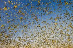 IMG_0335.jpg (Paul Williams www.IronAmmonitePhotography.com) Tags: bird budgerigar summer murmuration dryseason melopsittacusundulatus australia