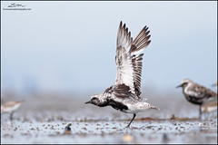 Black-bellied Plover (lironsnaturephotography.com) Tags: blackbelliedplover pluvialissquatarola plover plovers stretch wingstretch shorebird shorebirdmigration shorebirds shorebirding shorebirdphotography shore mudflats mudflat fraserriverdelta delta deltabccanada bc britishcolumbia canada vancouver greatervancouver metrovancouver lowermainland pacific pacificnorthwest pacificcoast pacificflyway nature naturephotography natural wild wildlife animal animals wildlifephotography bird birds birding birdwatching birdphotography lironsnaturephotographycom canonef400mmf56lusm canon 400mm canoneos7dmarkii 7dmarkii canon7dmarkii