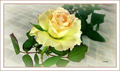 Rosa amarela . (o.dirce) Tags: rosa amarela flower fleur nature natureza riodejaneiro odirce