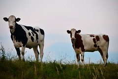Curious Cows (Niels van Bemmel) Tags: sky brown white black holland netherlands dutch evening cow nikon hill nederland gras flevoland the swifterbant d5300 55300mm