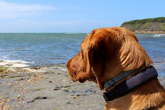 Looking Out To Sea (ZoRM) Tags: red sea dog colour beach water out heidi seaside labrador looking fox