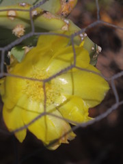 Cactus flower chicken wire (EllenJo) Tags: 2016 july14 ellenjo analoglensondigitalcamera pentaxklens pentaxqs1 vintagepentaxklens