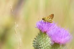 Skipper (evisdotter) Tags: ngssmygare ochlodessylvanus largeskipper light bokeh macro sooc nature fjril butterfly insect tistel thistle flower blomma ngc