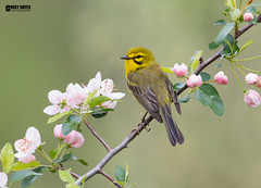 Prairie-Warbler (Corey Hayes) Tags: buds warbler songbird male bright overcast blossom flowers branch pink yellow coreyhayes