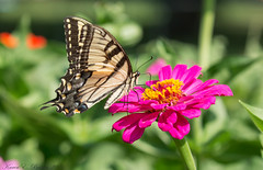 Eastern Tiger Swallowtail (BirdFancier01) Tags: garden flowers plant zinnia nature