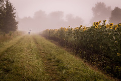 Foggy, Foggy Farm (cosmoguy1) Tags: fog foggy morning farm deer cattle cow sunflower field fields trees landscape nature dawn desaturated pale leading lines nikon d5300 maryland state park potomac kit lens amateur flickrswarmlighting