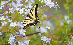 Tiger in a garden (Nancy Asquith) Tags: butterfly westerntigerswallowtail papiliorutulus flower platinumheartaward