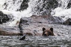 IMG_6555_1 (kalday) Tags: chichagofisland alaska pavlofriver brownbear grizzlybear kodiakbear
