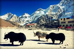 Gorak shep (anna steppenwolf) Tags: gorakshep yaks nepali himalayas mountains