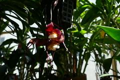 Dracula bella species orchid bloom 6-16 (nolehace) Tags: summer sanfrancisco nolehace fz1000 616 plant flower bloom 1st dracula bella species orchid