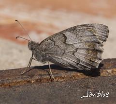 Mariposa (javiblue25) Tags: insectos naturaleza macro macrofotogfia mariposa