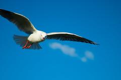 IMG_6310-2 (gsreejith) Tags: silvergull inflight birds birdinflight blue sky