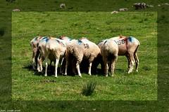 """En """"Tte--Tte"""" (sabinelacombe) Tags: hautespyrnes moutons troupeau montagne"""