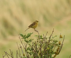 Yellowhammer male at Donna Nook NNR (kitmasterbloke) Tags: yellowhammer donnanook bird wildlife nationalnaturereserve lincolnshire uk