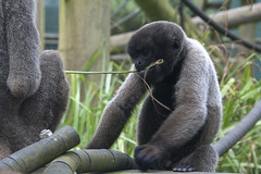 Tug-of-war (vic_sf49) Tags: vicsf49 uk england dorset monkeyworld cronin
