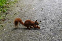 Eichhrnchen greift Walnuss - squirrel and walnut (Veit Schagow) Tags: eichhrnchen squirrel walnuss walnut feeding