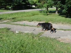1471955608_2016_Aug_23_08-33-28_ring700 (yclept8) Tags: doberman julie