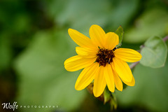 yellow and green (Aaron_Smith_Wolfe_Photography) Tags: yellow 105mmf28 sunflower