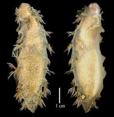 Gastropoda Marionia cucullata (MaKuriwa) Tags: gastropoda moluscos