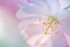 Cherry Blossom (biancaressl) Tags: pink flower macro nature spring natur rosa cherryblossom blume makro frhling kirschblte kirschbluete kirschblten biancaphotos