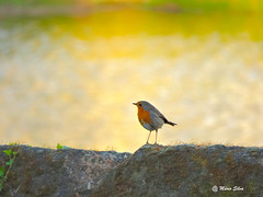 Águas Frias (Chaves) - ... o pisco de peito laranja ... (Mário Silva) Tags: portugal aves ave campo pisco chaves aldeia trásosmontes ilustrarportugal águasfrias lumbudus
