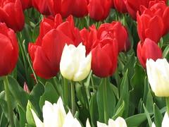 IMG_6021 (Gkmen Kmrt) Tags: tulips tulip 2014 emirgan laleler