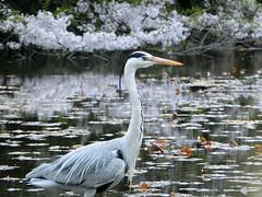 Grey Heron and Cherry Blossoms (Jet Daisuke) Tags: casio  cherryblossom  exilim            zr1600 exzr1600