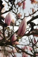 Verschlossene Magnolien (Poesia's Picture's) Tags: spring april magnolien 2015 frhling