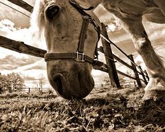 Leika infrarot (christian.riede) Tags: horse sepia wiese infrared gras zaun ultrawide pferd fressen koppel leika schimmel infrarot grasen makario