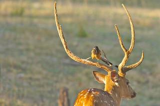 Symbiosis: Rufous Treepie cleaning antlers of Spotted Deer