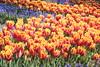 _MG_4358 (Gökmen Kımırtı) Tags: flower tulip 2015 emirgan laleler
