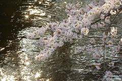 AI1A3853 (arcaswiss) Tags: flowers light sun sunlight water stars glare shine  cherryblossom spark