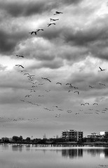 IMGP8927bg (Axel12p) Tags: bw flamingos thessaloniki  kalochori  pentaxda55300  kaloxwri pentaxk5ii