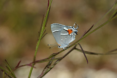 Bartram's Scrub-Hairstreak (Strymon acis), Homestead, Florida (kmalone98) Tags: butterflies hairstreaks gossamerwings bartramsscrubhairstreak