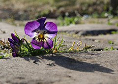 Pansy in the Paving (Raphooey) Tags: uk light england church grass stone backlight canon eos back kent flag south pansy gap chapel jour east gb paving backlit lit southeast viola contre slab slabs crevice pave flagstones pavings 70d wrotham