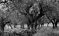 ulivi (enricoerriko) Tags: nyc red sea white paris rome verde green london alberi la strada mediterraneo mare moscow beijing barche via campagna cabina  bianca piante adriatico pini enel ulivo civitanovamarche portocivitanova mareadriatico pescherecci cristore rossobl citan sanmarone ulivisecolari vongolare motopescherecci annibalcaro cluana enricoerriko