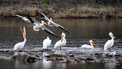 American White Pelican, Fond Du Lac MN, 04/28/15 (TonyM1956) Tags: tonymitchell fondulac stlouiscounty minnesota nature birds pelicans americanwhitepelican sonyphotographing sonyalphadslr