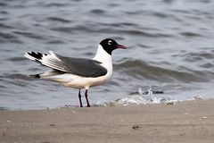 Plumb Beach: Franklin's Gull (donna lynn) Tags: nyc brooklyn nikon gulls may d750 2015 franklinsgull plumbbeach leucophaeuspipixcan