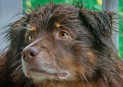 05.25.15 - Are you sure about this? (CarmenSisson) Tags: usa dog pet wet face look grass animal outside nose eyes cowboy alabama canine expressive aussie australianshepherd wetdog redtri coden