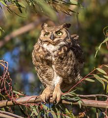 Great horned Owl (Eric SF) Tags: california birds fremont owl greathornedowl bestpractices ebparks ebparksok coyotehillsregonalpark