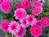 Pretty pink (louiseholmquist) Tags: 149365 2015pad