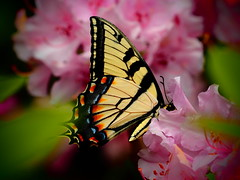 Butterfly on Pink Rhododendrons (Will.Mak) Tags: olympus em1 olympusm40150mmf28 willmak